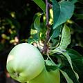Backyard Garden Series - 2 Apples by Carol Groenen