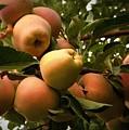 Backyard Garden Series - Apples Cluster by Carol Groenen