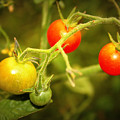Backyard Garden Series - Cherry Tomatoes by Carol Groenen