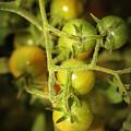 Backyard Garden Series - Green Cherry Tomatoes by Carol Groenen