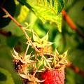 Backyard Garden Series - One Ripe Raspberry by Carol Groenen