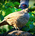 Backyard Garden Series - Quail In A Pear Tree by Carol Groenen