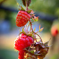Backyard Garden Series - The Freshest Raspberries by Carol Groenen