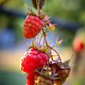 Backyard Garden Series - The Freshest Raspberries by Carol Groenen