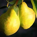 Backyard Garden Series - Two Pears by Carol Groenen
