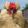 Bad Tempered Bearded Bantam by Susan Baker