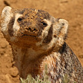 Badger Covered In Dirt From Digging by Max Allen