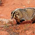 Badger by Dennis Hammer