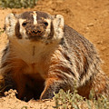 Badger Pausing From Digging Around In Dirt by Max Allen