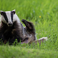 Badger Scratching His Back by Torbjorn Swenelius