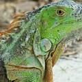 Bahia Honda Iguana by Judith L Schade