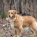 Bailee The Golden by Kristie Cyrus