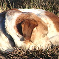 Bailey Resting by Christopher White
