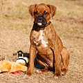 Bailey The Boxer Puppy by Angie Tirado