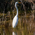Bailey Tract Egret Two by Bob Phillips