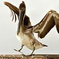 Balancing Pelican by Wolfgang Stocker