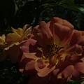 Balboa Park Roae Garden Flower 7 by Phyllis Spoor