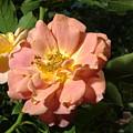 Balboa Park Rose Garden Flower 5 by Phyllis Spoor