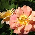 Balboa Park Rose Garden Flower 6 by Phyllis Spoor