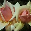 Balboa Park Rose Garden Flower 4 by Phyllis Spoor