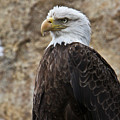 Bald Eagle - Portrait 2 by Douglas Barnett