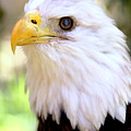 Bald Eagle 1 by Imagery-at- Work