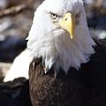Bald Eagle 1 by Marty Koch