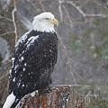 Bald Eagle 1 by Scott Hovind