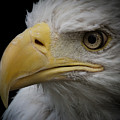 Bald Eagle 2 by Ernie Echols