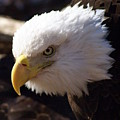 Bald Eagle 2 by Marty Koch