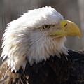 Bald Eagle 3 by Marty Koch