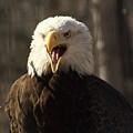 Bald Eagle 4 by Marty Koch