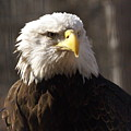 Bald Eagle 5 by Marty Koch