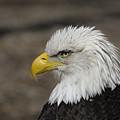 Bald Eagle by Andrea Silies