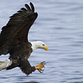 Bald Eagle At Ready by Straublund Photography
