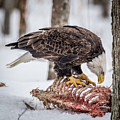 Bald Eagle At The Buffet by Paul Freidlund