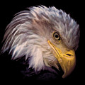 Bald Eagle by Athena Mckinzie