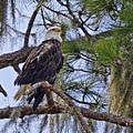 Bald Eagle By H H Photography Of Florida by HH Photography of Florida