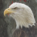 Bald Eagle by Catherine Gagne
