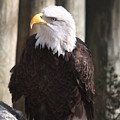 Bald Eagle by Christiane Schulze Art And Photography