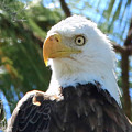 Bald Eagle by Chuck Purro