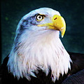 Bald Eagle Close Up by Anthony Jones