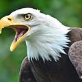 Bald Eagle Close Up by Paul Cummings