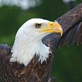 Bald Eagle Close Up by Steve Somerville