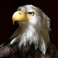 Bald Eagle Closeup Portrait by Sue Harper