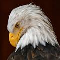 Bald Eagle Contemplation by Sue Harper