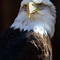 Bald Eagle by David Salter