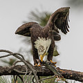 Bald Eagle Eating Fish by Marc Crumpler