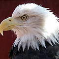 Bald Eagle by Ernie Echols