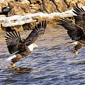 Bald Eagle Fishing Pano by LeeAnn McLaneGoetz McLaneGoetzStudioLLCcom